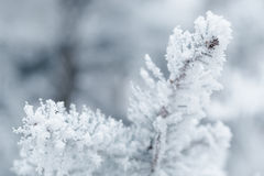 Frosty fir twigs in winter covered with rime Royalty Free Stock Photos