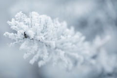 Frosty fir twigs in winter covered with rime Stock Image