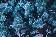 Frosty flora Stock Photo