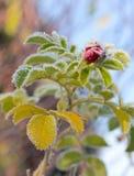 Frosty flower briar Stock Photos