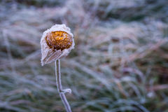 Frosty flower in early autumn morning Royalty Free Stock Images