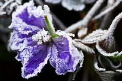 Frosty flower in late fall stock photos