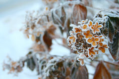 Frosty flowers Stock Images