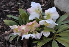 Frosty flowers of Helleborus. Helleborus - frost-resistant flowers that grow in soil and bloom at the end of winter Royalty Free Stock Images