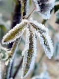 Frosty winter foliage Stock Photo