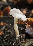 Frosty Funnel Fungus. Clitocybe phyllophila Royalty Free Stock Photo