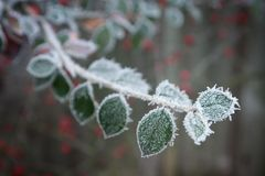 Frosty Garden 2. A wintery frosty frozen twig with leaves in shallow depth of field royalty free stock photography