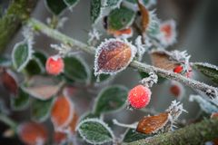 Frosty Garden 3. A wintery frosty frozen plant scene with red berries Royalty Free Stock Photos