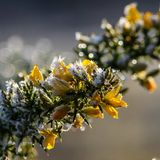 Frosty Gorse. Yellow flowers Royalty Free Stock Image
