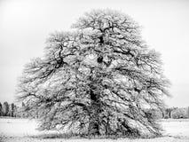 Frosty Grand Old Oak B/W Imagens de Stock
