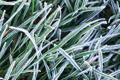 Frosty grass Stock Images