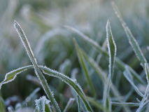 Frosty grass Royalty Free Stock Image