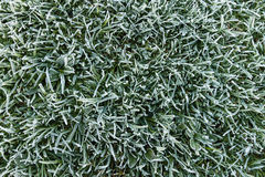 Frosty grass Royalty Free Stock Photography