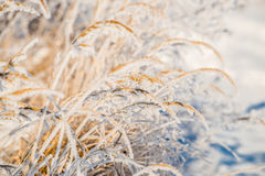 Frosty grass closeup Stock Photography