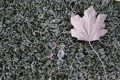 Frosty grass and Maple leaf Stock Image
