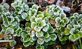 Frosty green leaves Stock Image