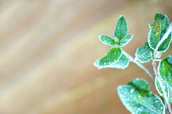 Frosty green plant leaves background. Royalty Free Stock Images