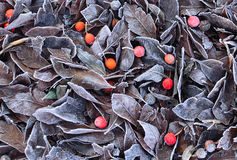 Frosty Hawthorn Leaves and Berries Royalty Free Stock Photography