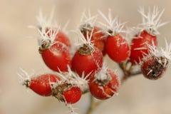 Free Frosty Hawthorns Stock Photos - 28317033