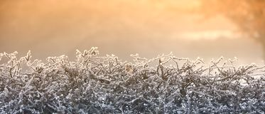 Frosty hedge winter morning Stock Photo