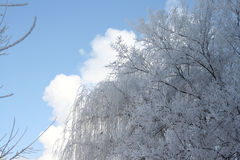 Frosty hoarfrost. And snow on branches of trees Stock Photography