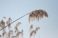 Frosty hoarfrost. And snow on canes, a close up Royalty Free Stock Images
