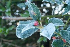 Frosty Holly Stock Images