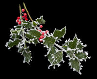 Frosty Holly Stem Stock Photos