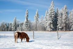 Frosty Horse Immagine Stock Libera da Diritti