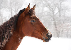 Frosty horse looking alerted. On a cold foggy winter day Royalty Free Stock Photography