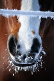 Frosty Horse Mouth Royalty Free Stock Photography