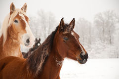 Frosty horses alerted to something in the distance. With their ears pricked, on cold foggy winter day Stock Images