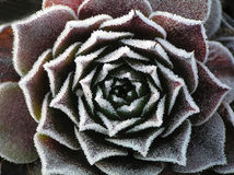 Frosty houseleek Stock Photo