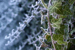 Frosty ivy against frozen blue background Royalty Free Stock Photography