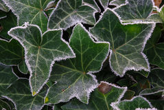 Frosty ivy. Ivy on a cold frosty morning Royalty Free Stock Photos