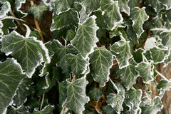 Frosty ivy. On tree Royalty Free Stock Photography