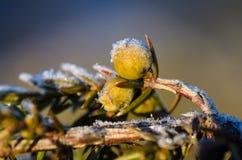 Frosty juniper berries Stock Image