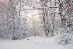 Frosty Landscape In Snowy ForestWinter Forest Landscape Mooie de Winterochtend in een Snow-Covered Berk Forest Snow Covered Tr stock fotografie