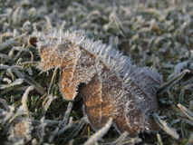 Frosty leaf. Sunrise view of a frosty leaf with ice crystals on grass on a spring morning in a farm field in north lancashire Royalty Free Stock Photos