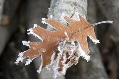 Frosty leaf. Quercus Rubra leaf in winter time covered with morning frost Royalty Free Stock Image