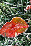 Frosty leaf. Frosty red fallen leaf lying on frozen grass on a cold fall morning Royalty Free Stock Images