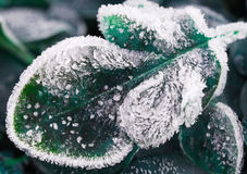 Frosty leaf. Morning frost on plant leaves in late fall Stock Image