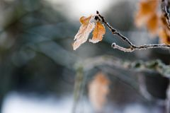 Frosty leaf. Hanging from tree Stock Photo
