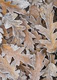 Frosty Leaf Background. Fallen oak leaves covered on frost. Suitable for use as a background Royalty Free Stock Image