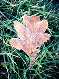 Frosty leaf. A frost covered oak leaf on grass Stock Image