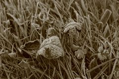 Frosty Leaf and Grass stock image