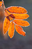 A frosty leaf of a rowan Stock Photo