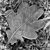 Frosty leaf - shot with analogue film. Close up on a frosty leaf a cold winter day. Location: Uddevalla, Sweden. Image is taken with a full-frame analogue film royalty free stock photos