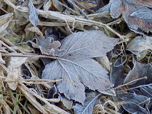 Frosty Leaf in Winter. Sycamore leaf with frost and other debris Royalty Free Stock Photo