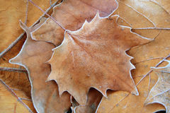 Frosty leafs Stock Photography